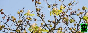 Jesień miesza się z wiosną. Kasztanowce zakwitły kolejny raz